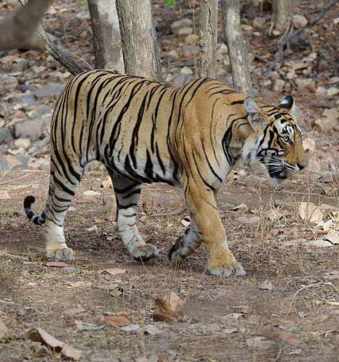 tigrebengal.jpg