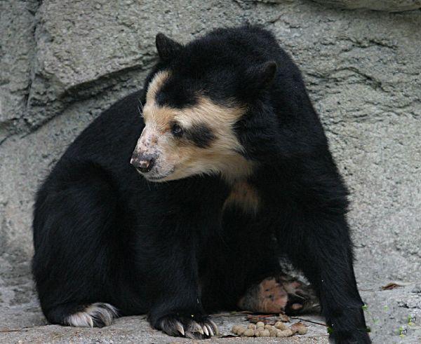bald-bear-01. лысый медведь.